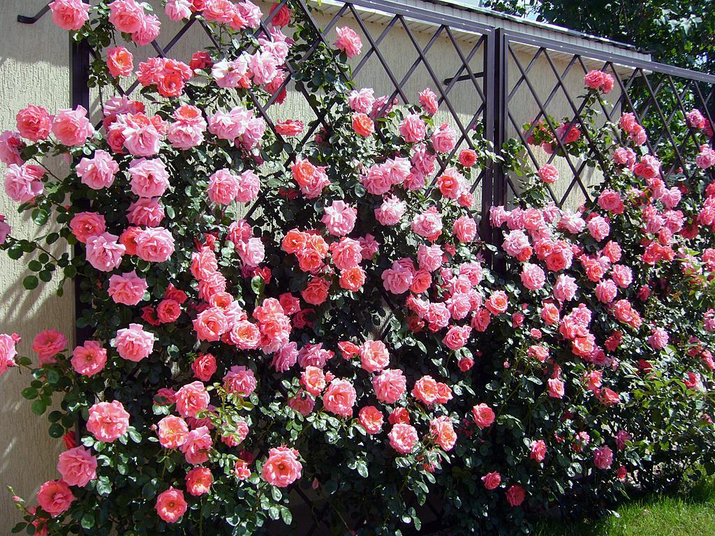 шпалерные розы фото строительстве